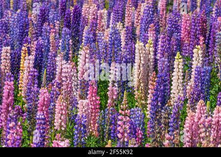 Blooming Lupins (Russel Lupin / Lupinus Polyphyllus) at Lake Tekapo, full frame. Lake Tekapo, Mackenzie District, Canterbury Region, South Island New