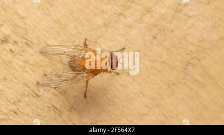 The fruit fly, often called a gnat, in the family Drosophilidae - Stock Photo