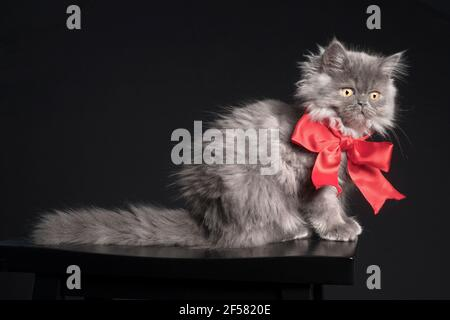 Beautiful portrait of a long haired grey kitten wearing a big red bow.