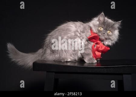 Beautiful portrait of a long haired kitten wearing a big red bow.