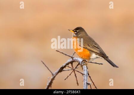 American robin (Turdus migratorius), William Finley National Wildlife Refuge, Oregon