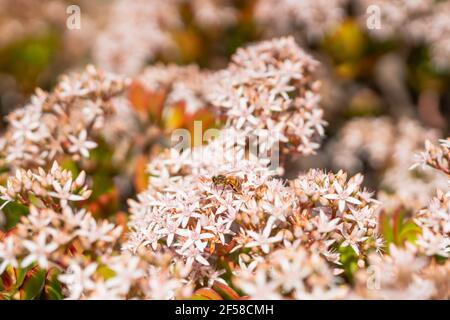 Small white and pink, star-like shaped flowers of Jade plant and bee. Beautiful floral background, succulent in bloom in fall season