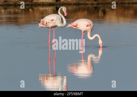 greater flamingo, Phoenicopterus roseus, two adults feeding in shallow water, Camargue, France