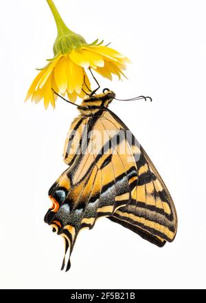 A Western Tiger Swallowtail (Papilio rutulus) hanging from a yellow flower - side view - on a plain white background