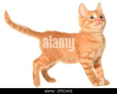 Orange kitten goes on a side view isolated.