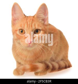 Orange kitten lays isolated on a white background.