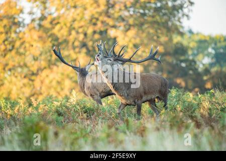 Two male red deer belling during autumn season in Richmond park