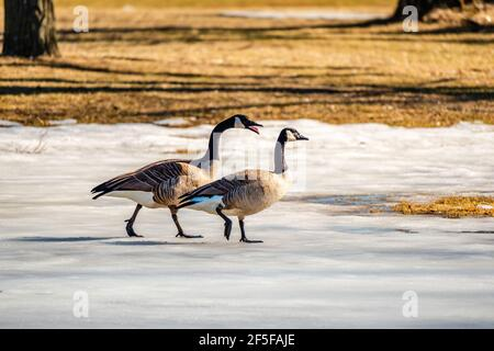 Springtime, geese looking for the food and trying to find a partner