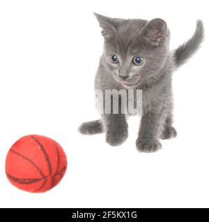 Cute gray shorthair kitten plays with ball isolated on white background. - Stock Photo