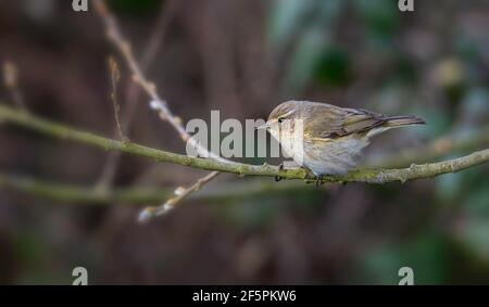 Chiffchaff Phylloscopus collybita an early summer visitor to the UK - Stock Photo