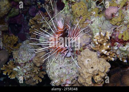 Radial firefish or Clearfin lionfish (Pterois radiata) in Red Sea