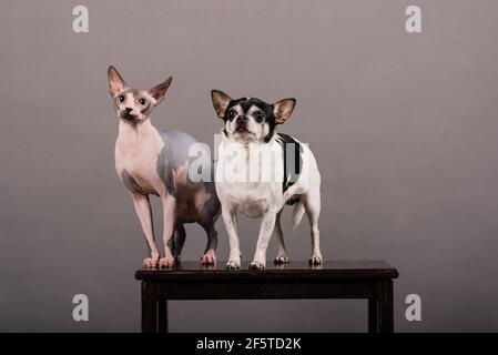 Cat and dog together in front of grey background, Canadian Sphynx, chihuahua
