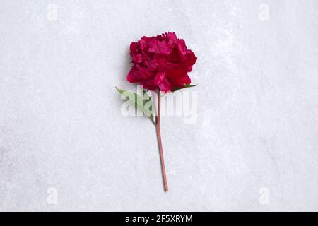 One big red peony flower on stone background. Copy space for text and design. Minimalism Stock Photo