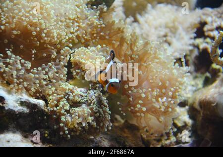 Clownfish, Clown-Fisch, Clownfish or anemonefish are fishes from the subfamily Amphiprioninae in the family Pomacentridae