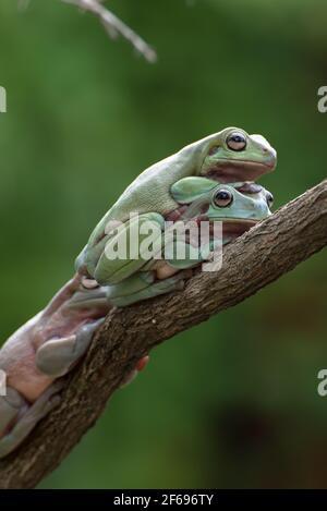 Australian white tree frogs on a tree branch