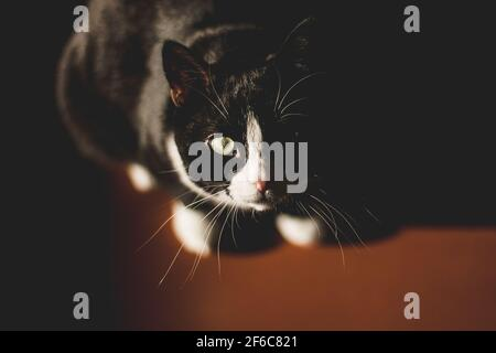 black cat with a white neck and paws and yellow eyes looks at the camera, sitting in a dark room on a red floor in the spring sun shining on the cat's