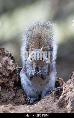 Grey Squirrel UK, aka Eastern Gray Squirrel, Sciurus carolinensis, a single squirrel in woodland, Lackford Lakes, Suffolk UK Stock Photo