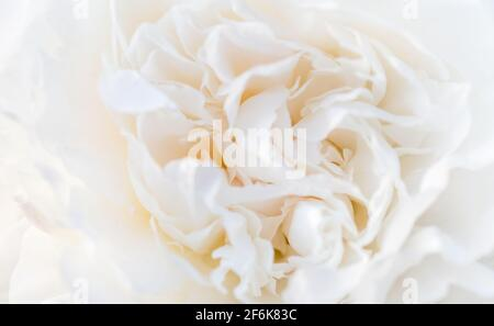 Delicate pale white peonies flowers close-up. Fragrant pink petals, abstract romance background, pastel and soft flower card - Stock Photo