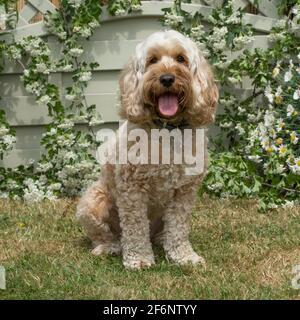 cockapoo dog