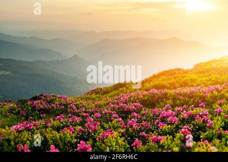 Rhododendron flowers covered mountains meadow in summer time. Orange sunrise light glowing on a foreground. Landscape photography