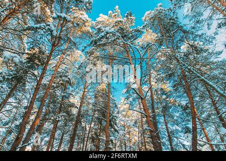 Looking Up View Snow Covered Pine Forest. Frosted Trees Frozen Trunks Woods In Winter Snowy Coniferous Forest Landscape. Beautiful Woods In Forest