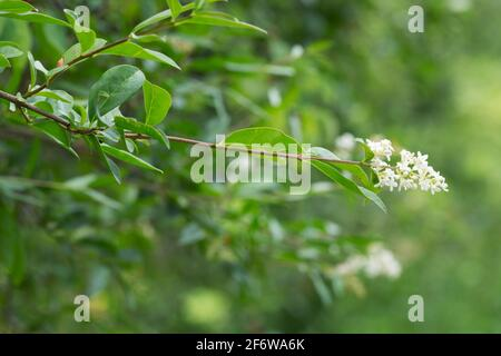 Closeup of a blooming privet - Stock Photo