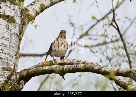 Juniper thrush sitting on branch