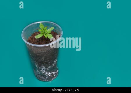 one small bright green young plant in a transparent plastic glass on green background with space for text, seedling plug. Spring garden flower growing. Seed marigold starting, four leaves sprout. - Stock Photo
