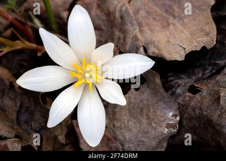 Bloodroot Flower (Sanguinaria canadensis) - Holmes Educational State Forest, Hendersonville, North Carolina, USA - Stock Photo