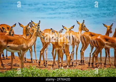 Group of wild African safari antelopes together in the grasslands of the Tsavo East in Kenya, Africa. In the background is a watering hole behind them Stock Photo