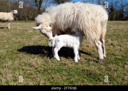 Lactating ewe and baby lamb sucking from mother sheep standing in a field in spring sunshine on farm April Carmarthenshire West Wales UK KATHY DEWITT