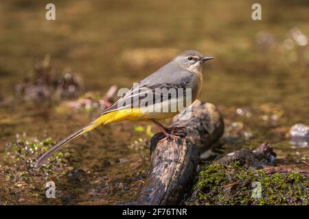 grey wagtail, Motacilla cinerea, single adult perched near water of river, United Kingdom
