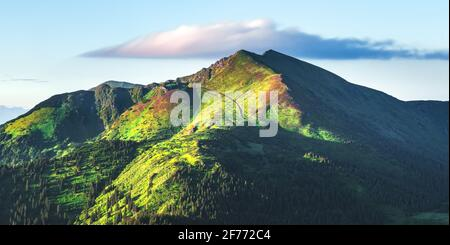 Picturesque summer landscape in Carpathian mountains. Green hills, forest and meadows, covered pink rhododendron flowers in fantastic morning sunlight