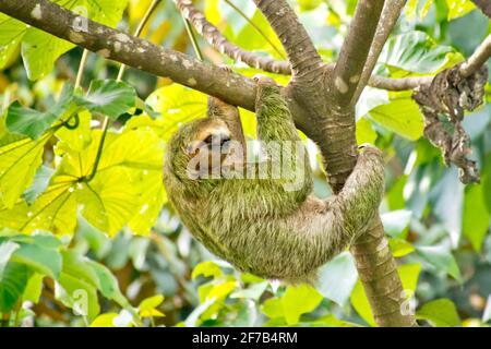Pale-throated Sloth, Bradypus tridactylus, Three-toed Sloth, Tropical Rainforest, Marino Ballena National Park, Uvita de Osa, Puntarenas, Costa Rica,
