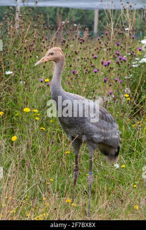 Immature Eurasian (common) crane (Grus grus), Great Crane captive breeding and reintroduction project, Slimbridge WWT, Gloucestershire, UK - Stock Photo