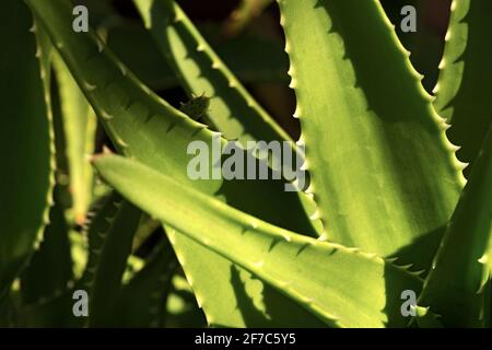 Extreme closeup of a green Aloe Vera Plant. Full frame, photography. - Stock Photo