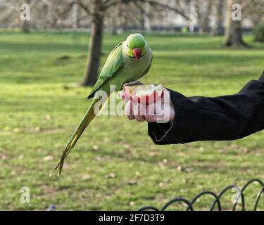 A tame green ring-necked parakeet eating from a woman's hand in St.James's Park, London