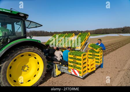Vegetable cultivation, celery plants are planted in the field with a planting machine, Niederkrüchten, NRW, Germany, - Stock Photo