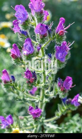 Red Viper`s Bugloss  flower - Stock Photo