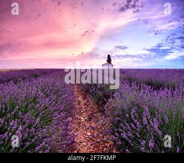 Sunrise in a lavender field with a small cottage and a tree, Valensole, Alpes-de-Haute-Provence, Provence, France, Europe