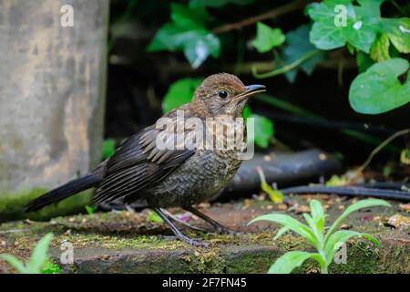 Juvenile Common blackbird (Turdus merula) waits for food from parent in a Chilterns garden, Henley-on-Thames, Oxfordshire, England, United Kingdom - Stock Photo