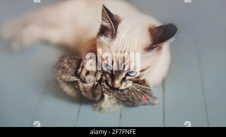 Cute striped Thai kitten actively plays with a toy mouse and hunts it on the gray floor. A pet. - Stock Photo