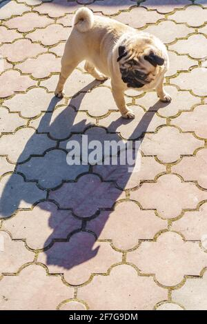 The pug is standing on the asphalt, its tongue hanging out, looking at its shadow. Funny pets. - Stock Photo