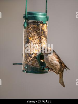 A female House Sparrow (Passer domesticus) a common garden bird in the UK hanging and feeding from a bird feeder