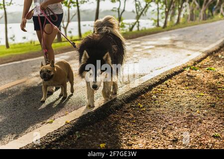 Woman walking in the park with Siberian Husky and pug dog. - Stock Photo