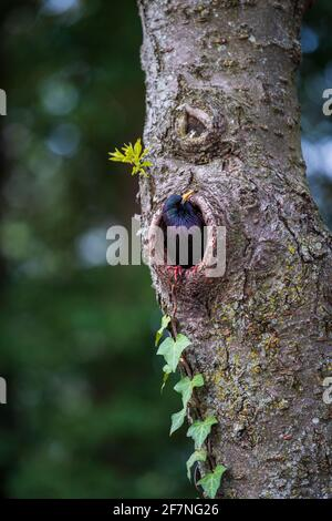 A common starling, Sturnus vulgaris, peeks out from a nest in a cherry tree.