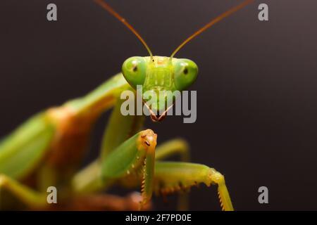 Female European Mantis or Praying Mantis, Mantis Religiosa. Green praying mantis. Close up