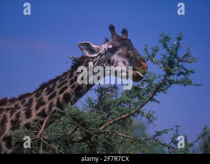 Masai giraffe, Giraffa camelopardalis tippelskirchi. Eating acacia tree leaves. Note purplish-black prehensile tongue; that is useful for grasping - Stock Photo
