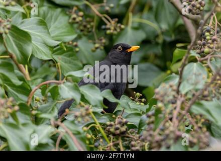 Male Blackbird, Turdus merula, feding on ripe Ivy berries.