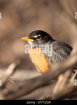 A Robin  (Turdus migratorius ) in the forest in springtime